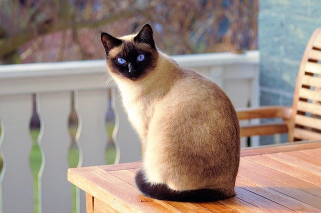 Tajemniczo piękne koty i kocięta syjamskie
