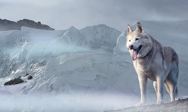 pies wilk w zimowej scenerii