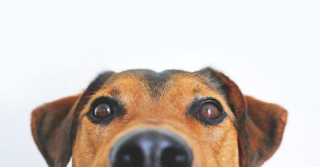 pies zakrapianie oczu