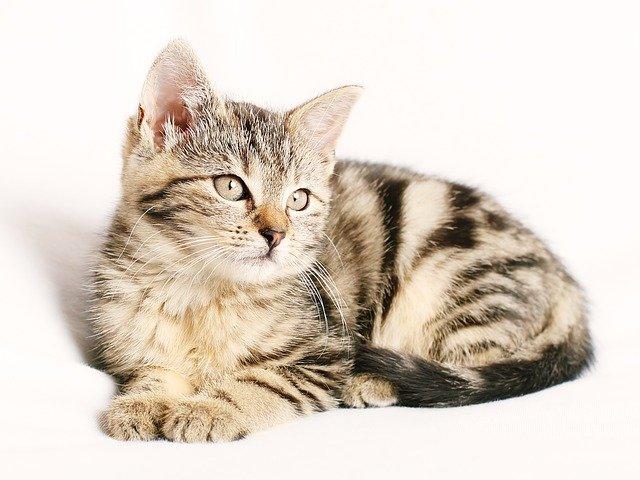 Rodzaje wzorów bury występujących u kotów